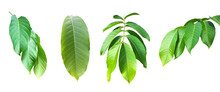 Isolated Green Leaves Of Queen Crepe Myrtle On White Background With Clipping Paths.