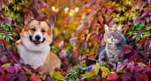 Cute Corgi Dog And Striped Cat Are Sitting In The Autumn Garden Among The Bright Multicolored Leaves Of Grapes On A Sunny Day