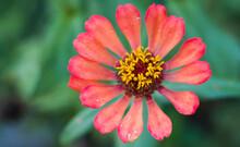 Zinnia Red Flower In The Garden