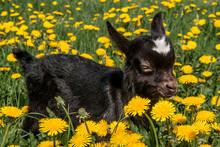 Domestic Goat (Capra Aegagrus Hircus) Kid In Meadow