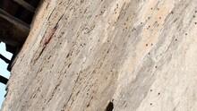 Harmonia Axyridis Harlequin Ladybeetle Groupings For Overwintering Ladybug