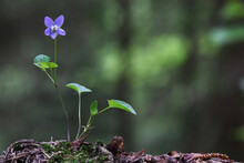 Viola Reichenbachiana, The Early Dog-violet Or Pale Wood Violet