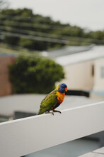 Rainbow Lorikeet Bird Sitting On A Balcony Railing.