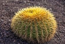 Closeup Of Echinocactus. Round Cactus Growing On The Ground.