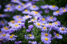 Closeup Of Rain Drops On Purple Daisies In A Public Garden