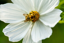 White Flower With A Bee In The Centre