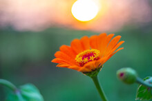Orange Zinnia Flower Close-up In The Evening At Sunset