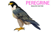 Peregrine Falcon Bird Of Prey Isolated