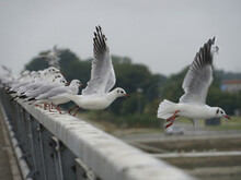 Tranquil View Of Seagulls Taking Off From The Bridge Railing In A Row