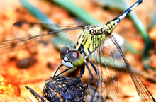 Closeup Of A Beautiful Green Dragonfly Perched On The Leaf.