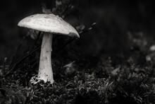 Amanita Citrina, Commonly Known As The False Death Cap, Or Citron Amanita, Is A Basidiomycotic Mushroom, One Of Many In The Genus Amanita. Black And White Dark Forest Version