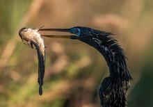 Closeup Shot Of A Beautiful Black Cormorant Bird Eating Fish