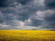 Dark Storm Clouds Over Rapeseed  Field