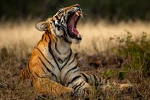 Angry Wild Royal Bengal Female Tiger Yawing With Long Canines In Cold Winter Season During Outdoor Wildlife Safari At Forest Of Central India - Panthera Tigris Tigris