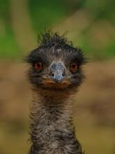 Emu Closeup Head Detail Portrait