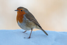 Festive Image Of A European Robin (Erithacus Rubecula) Standing In Snow.