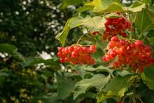 Viburnum Vulgaris Red. Guelder Rose. Berries On The Bush.