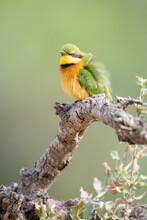Little Bee Eater, Merops Pusillus, Ruffling Feathers