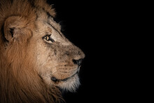 Side Profile Of A Male Lion, Panthera Leo, In The Dark