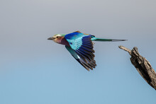 A Lilac Breasted Roller, Coracias Caudatus, Takes Off In Flight