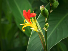Canna Lily Flower, Fruits And Green Leaves