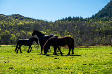 Wildlife In Norway. Scandinavian Fjord Beautiful Horses On Pasture Eat Grass On Field In Summer Rainy Weather.