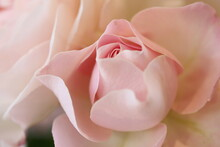 Close-Up Of Roses Blooming Outdoor