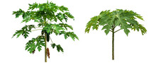 Isolated Papaya Leaves And Tree With Clipping Paths.