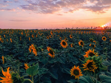 Field Of Sunflowers Against The Backdrop Of Sunset And Clouds In The Evening