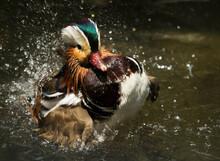 Mandarin Duck (Aix Galericulata) In Japan