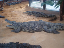 Crocodiles Crawling On The Ground At A Zoo