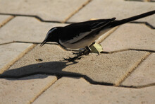 Closeup Shot Of A Magpie Bird On A Pavement On A Sunny Day