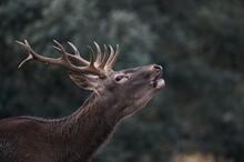 Deer With Antlers Walking On Meadow Grunting