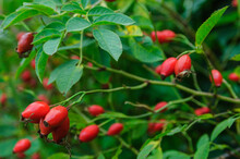 Red Rose Hips With Green Leaves Close-up