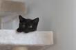 Młody czarny kot brytyjski z pomarańczowymi oczami, na drapaku