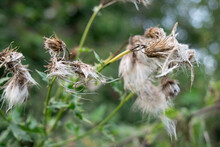Thistle Seed Heads