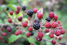 September Blackberries Ripening On The Branch