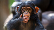 Close Up Portrait Of A Cute Baby Chimpanzee Making Eye Contact