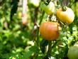 Dojrzewające pomidory na polu