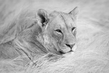 Mono Close-up Of Lioness Lying On Grass