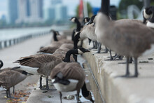 Canadian Geese By An Urban Lake