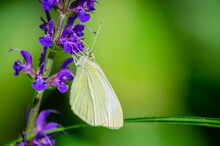 A Green-veined White Foraging In A Meadow