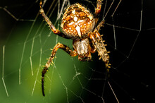 A Garden Spider Sits In Its Web And Waits For A Prey.