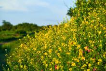 Meadow With Blooming Celandine Against The Setting Sun. Greater Celandine (Chelidonium Majus, Tetterwort, Nipplewort Or Swallowwort, St John's Wort).