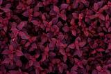Fototapeta Kawa jest smaczna - closeup nature view of purple leaves background, dark nature concept