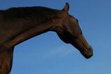 Fototapeta Zwierzęta - koń głowa
