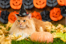Adult Maine Coon Cat Wearing Witch Halloween Hat  Lying On Autumn Grass With Pumpkin