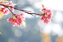 Beautiful Pink Cherry Blossoms Or Wild Himalayan Cherry (Prunus Cerasoides) Flowers In Blue Sky.