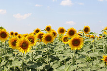 Field Of Blooming Sunflowers Against The Blue Sky