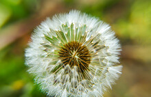 Dandelion Basket With Seeds Among The Grass